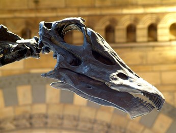 A close up of Dippy the Diplodocus' skull