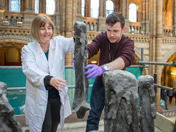 Two experts carefully dismantle Dippy's bones for transport