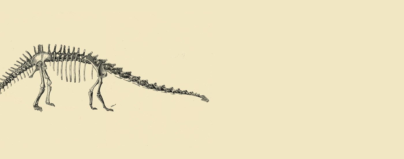 A two-tone illustrated sketch of a Diplodocus' bone structure